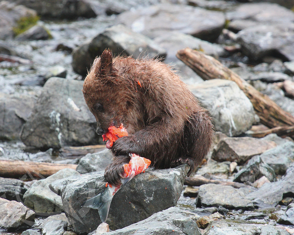 Baby Bear feeding on salmon in the South of Alaska