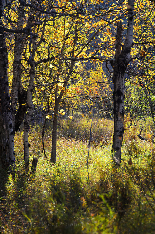 Morning sunshine lights up a grove of Paper Birch (Betula papyrifera) in Acadia National Park, Maine.