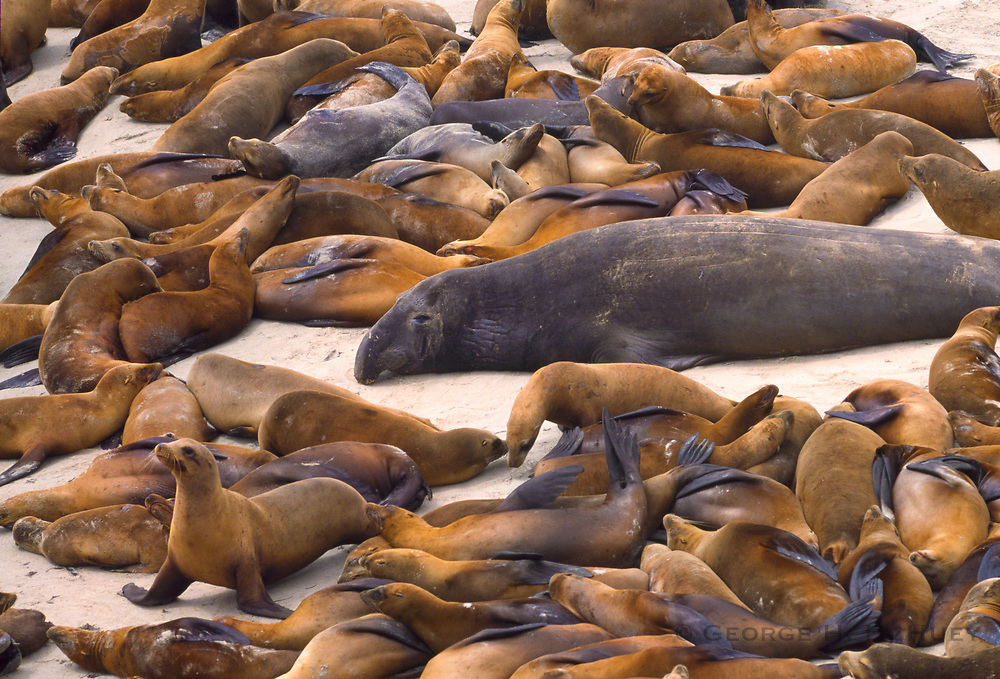 350606-1025 ~ Copyright: George H.H. Huey ~ Male northern elephant seal and California sea lions.  San Miguel Island, Channel Islands National Park, California.