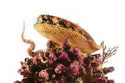 Viele Tiere nutzen die Rotalgenriffe, insbesondere die Rhodolithen gebildet durch die koralline Rotalge Maerl (Lithothamnion glaciale), als Lebensraum. Die Isländische Kammmuschel (Chlamys islandica) filtert auf erhöhter Position Nahrungspartikel aus dem Meerwasser. Der Schlangenstern (Ophiopholis aculeata) ist versteckt in den Hohlräumen des Rotalgenriffes und nur der Arm wird wie ein Fangnetz in das vorbeiströmende Wasser gestellt. Mit dem Fangarm werden ebenfalls vorbeitreibende Nahrungspartikel aus dem Wasser gefischt. Nordatlantik / Arktischen Ozean, Spitzbergen, Norwegen.   Rhodolith beds are composed of coralline red algae also called Maerl (Lithothamnion glaciale) and offer habitat for diverse associated organisms. The Iceland Scallop (Chlamys islandica) is sitting in an elevated position on the seabed where it filters the water for food particles. The brittle star (Ophiopholis aculeata) is hidden in the cavities of the red algae bed and only one arm is used here to catch food particles from the water column. North Atlantic / Arctic Ocean, Spitsbergen, Norway.