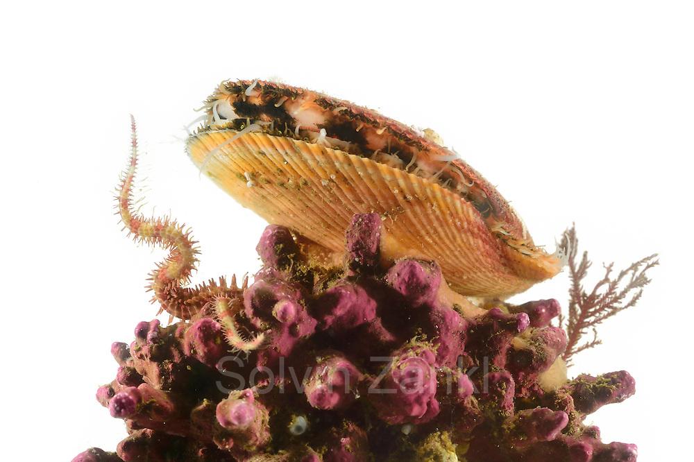 Viele Tiere nutzen die Rotalgenriffe, insbesondere die Rhodolithen gebildet durch die koralline Rotalge Maerl (Lithothamnion glaciale), als Lebensraum. Die Isländische Kammmuschel (Chlamys islandica) filtert auf erhöhter Position Nahrungspartikel aus dem Meerwasser. Der Schlangenstern (Ophiopholis aculeata) ist versteckt in den Hohlräumen des Rotalgenriffes und nur der Arm wird wie ein Fangnetz in das vorbeiströmende Wasser gestellt. Mit dem Fangarm werden ebenfalls vorbeitreibende Nahrungspartikel aus dem Wasser gefischt. Nordatlantik / Arktischen Ozean, Spitzbergen, Norwegen. | Rhodolith beds are composed of coralline red algae also called Maerl (Lithothamnion glaciale) and offer habitat for diverse associated organisms. The Iceland Scallop (Chlamys islandica) is sitting in an elevated position on the seabed where it filters the water for food particles. The brittle star (Ophiopholis aculeata) is hidden in the cavities of the red algae bed and only one arm is used here to catch food particles from the water column. North Atlantic / Arctic Ocean, Spitsbergen, Norway.