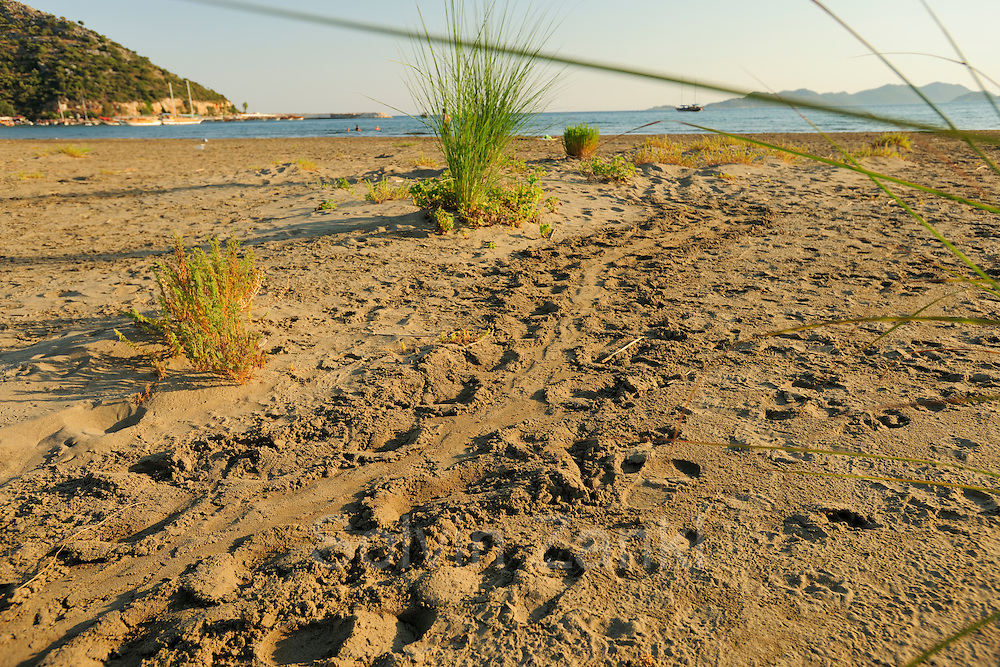 Many beaches along the Lykian Coast in Turkey are used for nesting by the Loggerhead Sea Turtle (Caretta caretta). The big tracks left on the beach bear witness to the nocturnal visit of an egg-bearing female. | Unechte Karettschildkröte (Caretta caretta)
