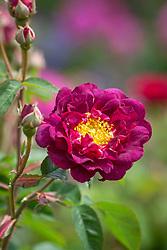 Rosa 'Tuscany'