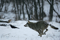 Wolf (Canis lupus) Wild Carpathian Wolf photographed in Bieszczady Mountains, the Carpathians; Carpathian Mountains; Bieszczady Mountains; Poland.