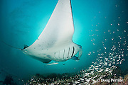 reef manta ray, Manta alfredi (formerly Manta birostris ), with remora, entangled in monofilament fishing line, which is cutting through right pectoral fin; at mouth of Hanifaru Bay, Hanifaru Lagoon, Baa Atoll, Maldives ( Indian Ocean )