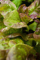 Young lettuce plants in garden.