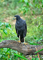 Great Black Hawk (Buteogallus urubitinga), The Pantanal, Mato Grosso, Brazil Photo by: Peter Llewellyn