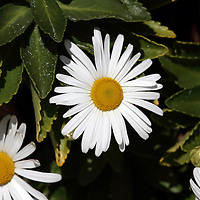 Yellow and white Daisy flowers, Bellis perennis. Lavalette, New Jersey, USA, North America.