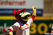 """Springfield Cardinals Mascot """"Louie"""" pumps up the crowd prior to a game against the Tulsa Drillers at Hammons Field on September 9, 2012 in Springfield, Missouri. (David Welker/Four Seam Images)"""
