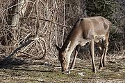16 February 2017, Villetta Barrea - A deer inside the National Park of Abruzzo.