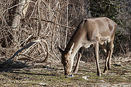 16 February 2017, Villetta Barrea - A deer inside the National Park of Abruzzo.