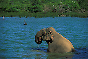 An elephant gently immerses itself in a tank(reservoir) on a hot day in Yala.