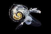 [captive] pelagic marine gastropod mollusc (Atlanta inclinata), Atlantic Ocean, close to Cape Verde | Planktische Meeresschnecke (Atlanta inclinata), Atlantischer Ozean, nahe Kap Verde