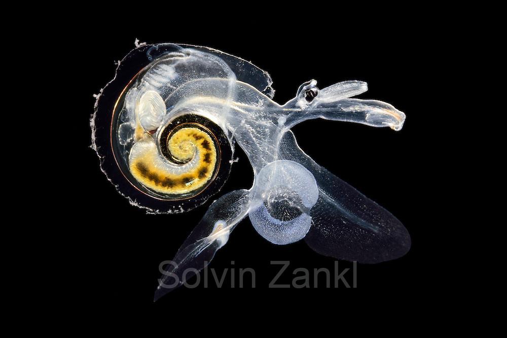 [captive] Heteropod - pelagic marine gastropod mollusc (Atlanta inclinata), Atlantic Ocean, close to Cape Verde | Räuberisch lebende Planktische Meeresschnecke (Atlanta inclinata),  Sie ernähren sich besonders von anderen Planktonweichtieren wie den Pteropoden. Ihre Zähne haben die Form einer Radula - ein Förderband aus scharfen Messern, die ein wenig wie ein Ölbohrer wirkt. Atlantischer Ozean, nahe Kap Verde