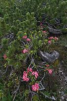 Swiss Mountain Pine; Pinus mugo; Rhododendron ferrugineum; Alpenrose, Augstenberg, Liechtenstein