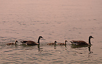 Long Island, New York - a family of Canadian Geese swimming.