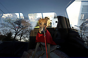 "Rescued greyhound ""Ella"" waits for her foster family to take her to their home from the NJ Greyound Rescue Program (NJGAP) Intake event. Once there, her foster family renamed her ""Bella."""