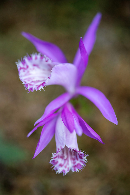 Cattleya orchid sp., Tangjiahe National Nature Reserve, NNR, Qingchuan County, Sichuan province, China