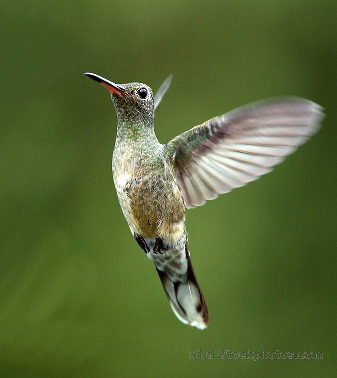 Scaly-breasted Hummingbird, Phaeochroa cuvierii, Torti, Panama