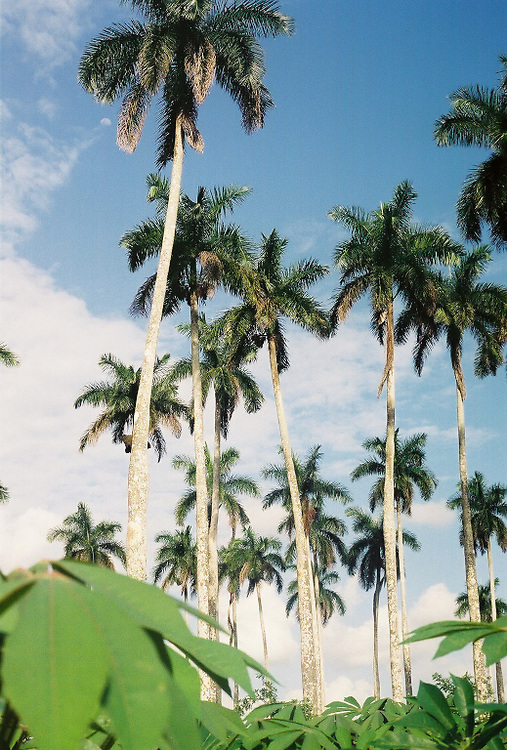 Cuban Royal Palms and Yuca Cuba Photography