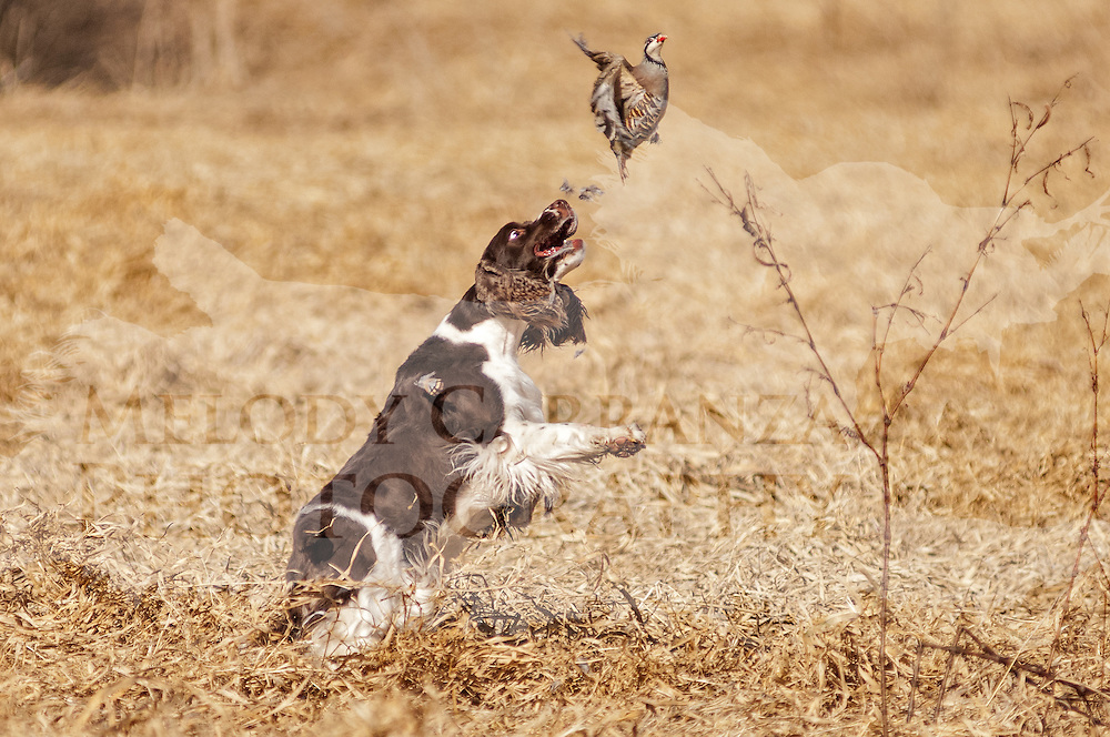 Photography was made during field practice in late Winter. The temperature was a warm 56 degrees in WI. Practice took place at West Allis Training Kennel Club, in Big Bend, WI on Feb 19, 2017.