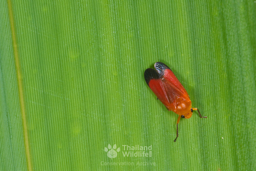 A Cicadellidae leafhopper in Pang Sida National Park, Thailand.