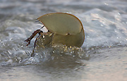Horseshoe crab; Limulus polyphemus; turning over in surf