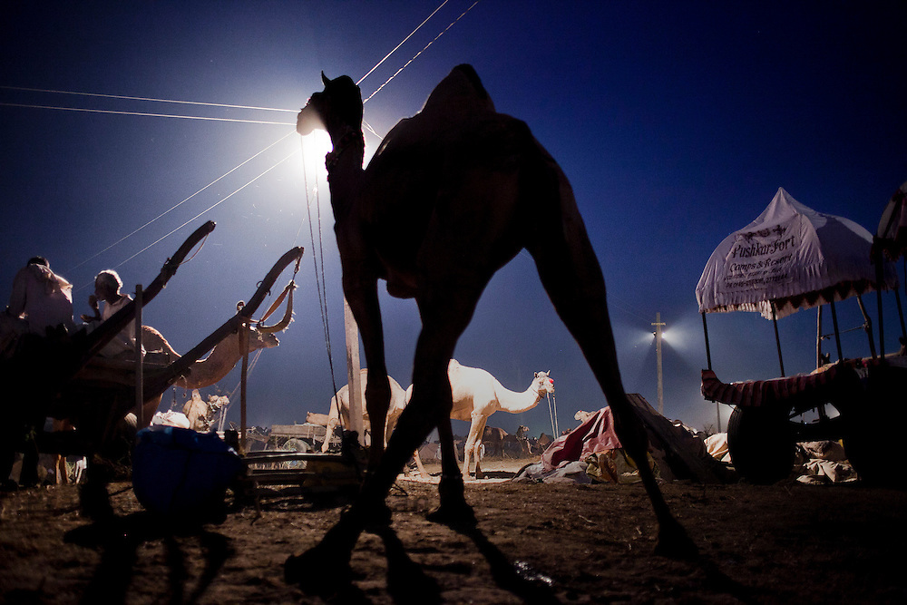 A camel is seen tied on the fair grounds in Pushkar, India, November 5, 2011.  Photographer: Prashanth Vishwanathan