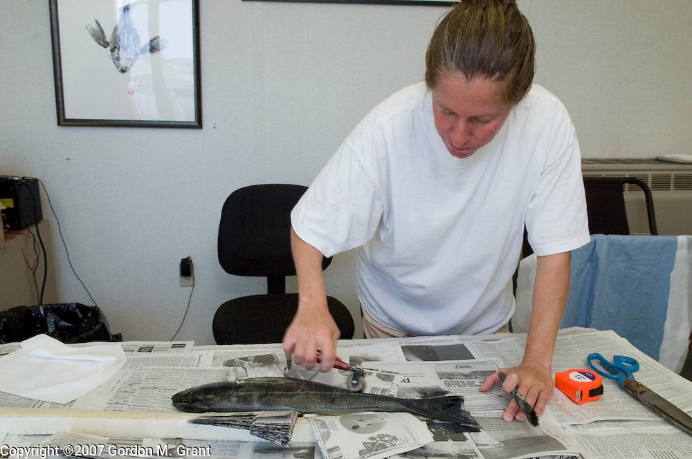 Montauk, NY - 7/31/07 -   Ann Sessler in her studio doing fish prints in Montauk, NY July 31, 2007.  Process photo - applying ink.  (Photo by Gordon M. Grant)