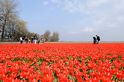 Red Tulip, Tulipa, Rode tulp, tulpen, Holland, Netherlands