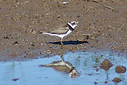 Semipalmated Plover photos