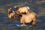 Elk and calves crossing the Gardner River in Yellowstone National Park.