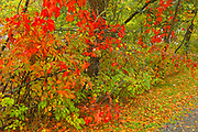 Virginia creeper (red) in autumn colors saturated with frequent rain.<br />Nestor Falls<br />Ontario<br />Canada
