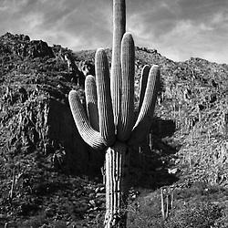 Saguaro cactus in the Superstition Mountains near Phoenix, AZ.