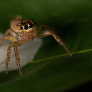 A jumping spider family (Salticidae) tending its nest egg sack.