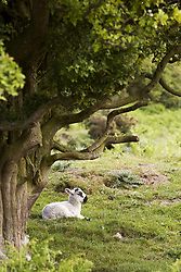July 21, 2019 - Sheep Lying Under Tree (Credit Image: © John Short/Design Pics via ZUMA Wire)