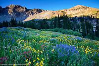 ALBION BASIN WILDFLOWERS ALBION BASIN- ALTA, UTAH