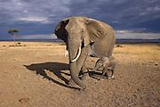 African Elephant <br /> Loxodonta africana<br /> Masai Mara Triangle, Kenya