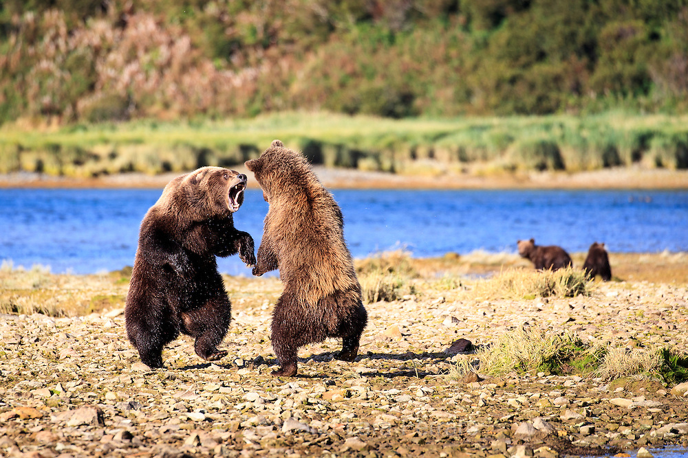 A mother brown bear spars with a new bear that entered the area.  Bears will sometimes kill another bears cubs so she is defending her two cubs of the year from potential harm.