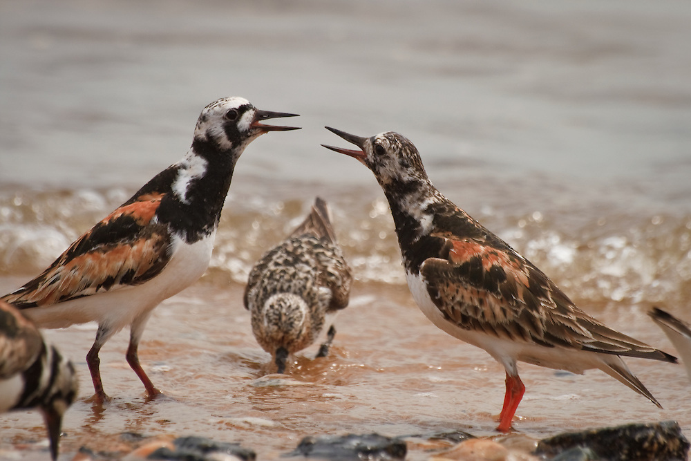 Two ruddy turnstones fighting over feeding territory with a Sanderling feeding in the background.