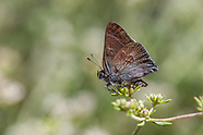 Satyrium tetra - Mountain Mahogany Hairstreak