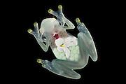 Glass Frog (Hyalinobatrachium aureoguttatum) <br /> CAPTIVE<br /> Chocó Region of northwest Ecuador on Colombian Border<br /> ECUADOR. South America<br /> Threatened species due to habitat loss.<br /> RANGE: Northern Ecuador, Colombia north to Panama