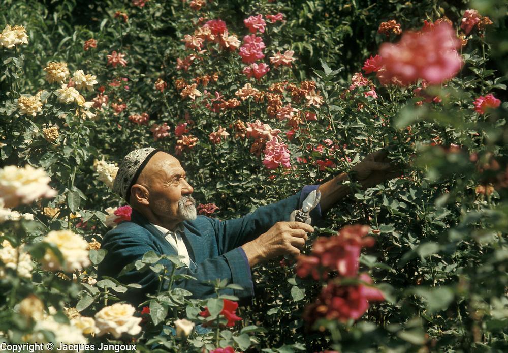 Old Uzbek man taking care of his rose garden, Tashkent, Uzbekistan, then part of the USSR.