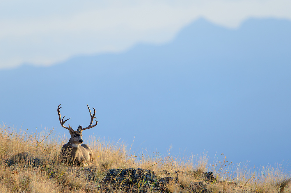 A mule deer sitting on a ridgeline with a distant mountain range in the background, Western Montana