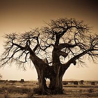 An elephant-made hole in a large baobab tree, Ruaha National Park, Tanzania