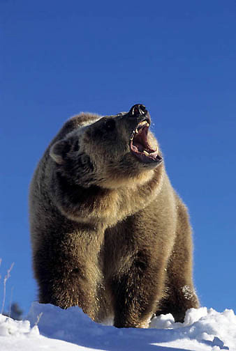 Grizzly Bear, (Ursus horribilis) Montana. Adult in Rocky mountains. snarling. Winter. Captive Animal.