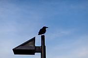 A crow is sitting on a lamp at the shore of river Main in Frankfurt.