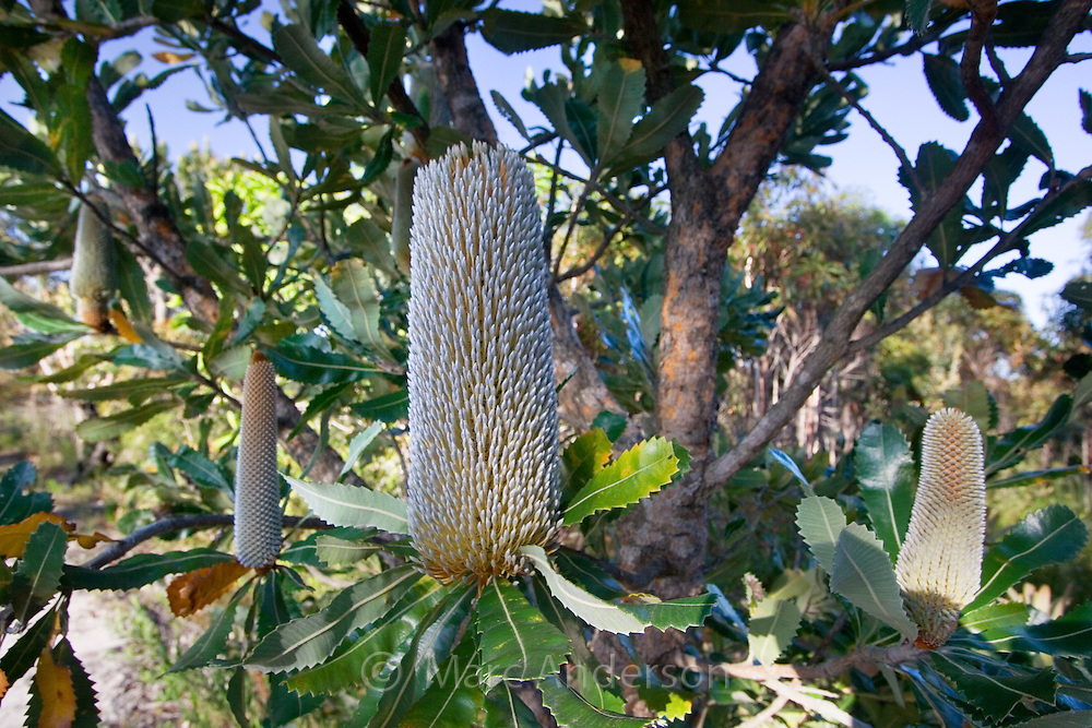 Flower spikes of a Banksia tree (Banksia serrata), Royal National Park, Sydney, Australia