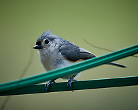 Tufted Titmouse. Image taken with a Nikon D5 camera and 600 mm f/4 VR lens (ISO 720, 600 mm, f/5.6, 1/1250 sec)