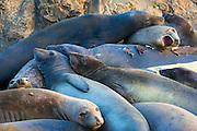 Northern elephant seals (Mirounga angustirostris) at Piedras Blancas Elephant Seal Rookerie, San Simeon, California USA